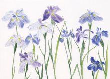 Dame Elizabeth Blackadder Irises