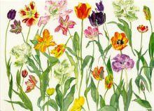 Dame Elizabeth Blackadder Tulips