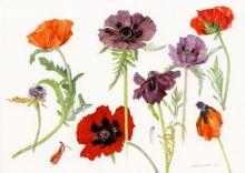Dame Elizabeth Blackadder Oriental Poppies, 2010