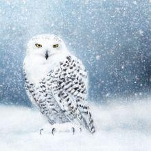 Snowy Owl Greeting card by Ruth Molloy